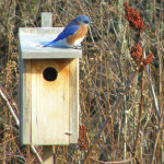 Somewhere over the rainbow, the North American Bluebird.